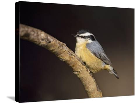 Red-Breasted Nuthatch, Sitta Canadensis, North America-John Cornell-Stretched Canvas Print