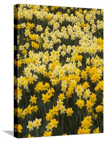 Pattern of Narcissus Flowers, Narcissus Pseudonarcissus, Louisville, Kentucky, USA-Adam Jones-Stretched Canvas Print