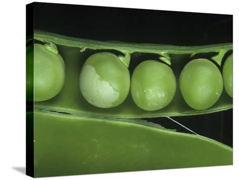 Pea Thrip (Kakothrips Pisivorus) Damage to Peas in the Pod (Pisum Sativum). England, Uk-Nigel Cattlin-Stretched Canvas Print