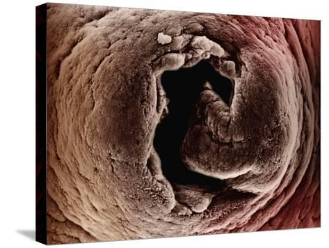 Opening of the Mammal Uterus Looking into the Oviduct-David Phillips-Stretched Canvas Print