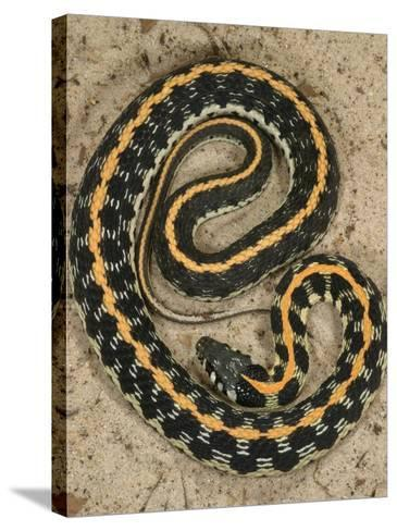 Black-Necked Gartersnake, , Thamnophis Siirtalis Occellata, Young Speciman, USA-Jim Merli-Stretched Canvas Print