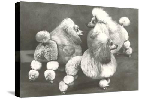 Three Trimmed Miniature Poodles--Stretched Canvas Print