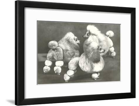Three Trimmed Miniature Poodles--Framed Art Print