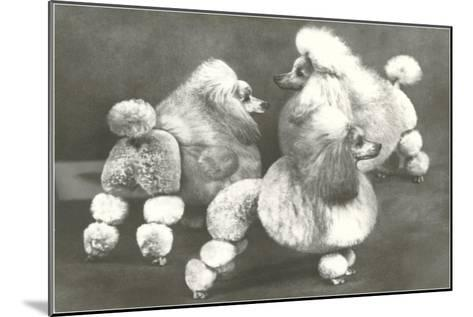 Three Trimmed Miniature Poodles--Mounted Art Print