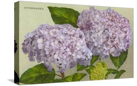 Hydrangea--Stretched Canvas Print