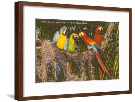 Macaws, Miami, Florida--Framed Art Print