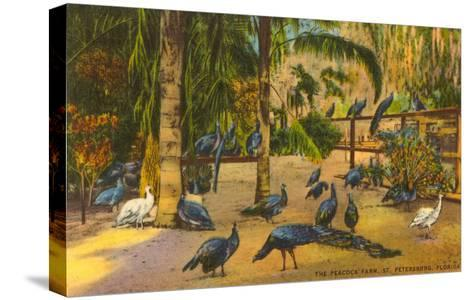 Peacocks, St. Petersburg, Florida--Stretched Canvas Print
