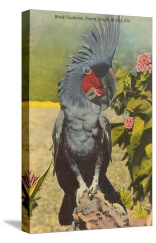 Black Cockatoo, Miami, Florida--Stretched Canvas Print