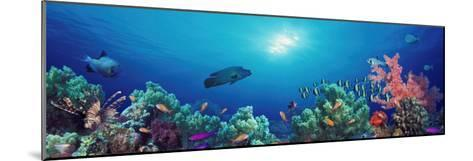 School of Fish Swimming Near a Reef, Indo-Pacific Ocean--Mounted Photographic Print