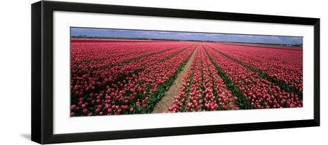 Tulips Near Alkmaar Netherlands--Framed Art Print