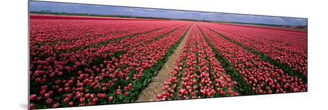 Tulips Near Alkmaar Netherlands--Mounted Photographic Print