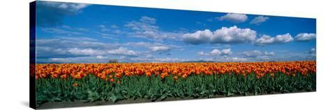 Clouds over a Tulip Field, Skagit Valley, Washington State, USA--Stretched Canvas Print