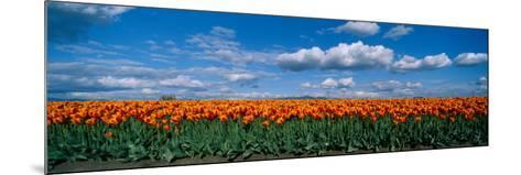 Clouds over a Tulip Field, Skagit Valley, Washington State, USA--Mounted Photographic Print