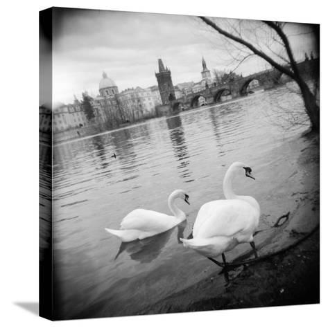 Two Swans in a River, Vltava River, Prague, Czech Republic--Stretched Canvas Print