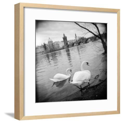 Two Swans in a River, Vltava River, Prague, Czech Republic--Framed Art Print
