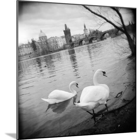 Two Swans in a River, Vltava River, Prague, Czech Republic--Mounted Photographic Print