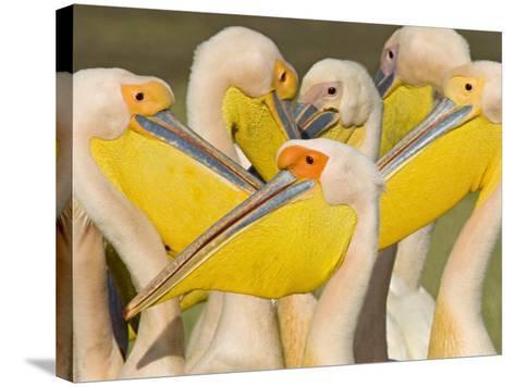Flock of Great White Pelicans, Lake Nakuru, Kenya--Stretched Canvas Print