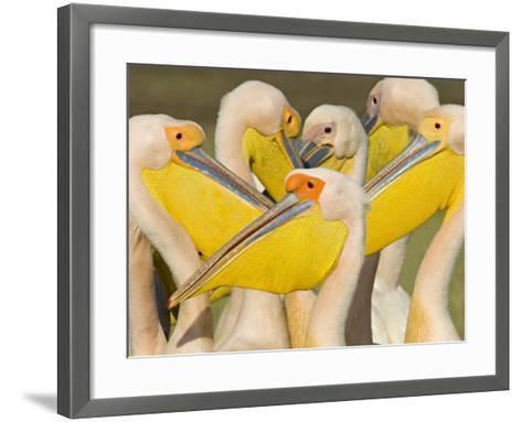 Flock of Great White Pelicans, Lake Nakuru, Kenya--Framed Art Print
