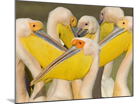 Flock of Great White Pelicans, Lake Nakuru, Kenya--Mounted Photographic Print