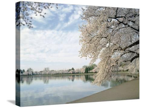 Cherry Blossom Trees around the Tidal Basin, Washington DC, USA--Stretched Canvas Print