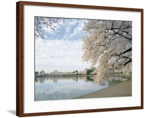 Cherry Blossom Trees around the Tidal Basin, Washington DC, USA--Framed Art Print