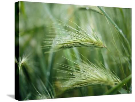 Dew Drops on Barley, San Francisco, California, USA--Stretched Canvas Print
