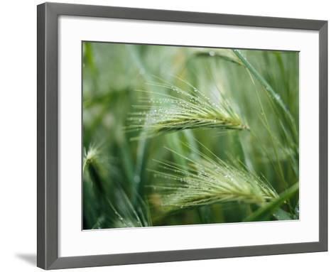 Dew Drops on Barley, San Francisco, California, USA--Framed Art Print