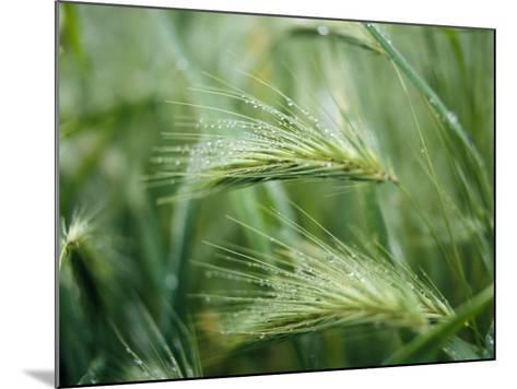 Dew Drops on Barley, San Francisco, California, USA--Mounted Photographic Print