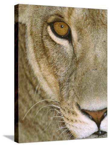 Lioness Close-Up Tanzania Africa--Stretched Canvas Print