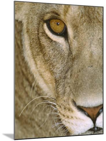 Lioness Close-Up Tanzania Africa--Mounted Photographic Print