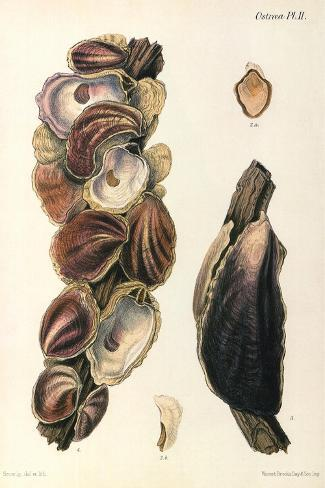 Oyster Shells, 1870--Stretched Canvas Print