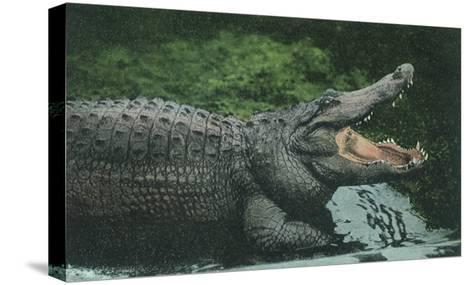 Alligator with Open Jaws--Stretched Canvas Print