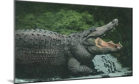 Alligator with Open Jaws--Mounted Giclee Print