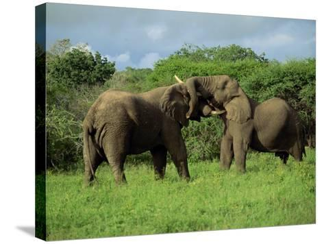 Two African Elephants Greeting, Kruger National Park, South Africa, Africa-Paul Allen-Stretched Canvas Print