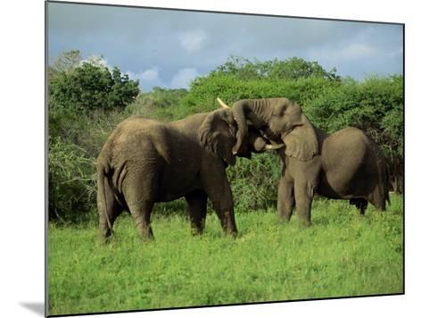 Two African Elephants Greeting, Kruger National Park, South Africa, Africa-Paul Allen-Mounted Photographic Print