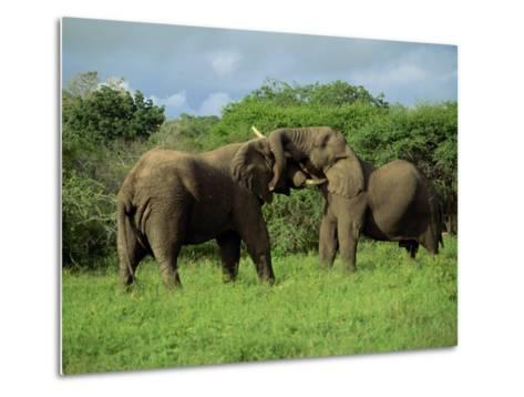 Two African Elephants Greeting, Kruger National Park, South Africa, Africa-Paul Allen-Metal Print