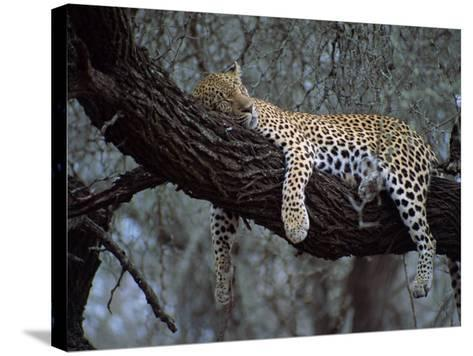 Close-Up of a Single Leopard, Asleep in a Tree, Kruger National Park, South Africa-Paul Allen-Stretched Canvas Print