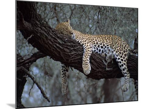 Close-Up of a Single Leopard, Asleep in a Tree, Kruger National Park, South Africa-Paul Allen-Mounted Photographic Print