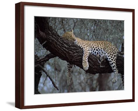 Close-Up of a Single Leopard, Asleep in a Tree, Kruger National Park, South Africa-Paul Allen-Framed Art Print