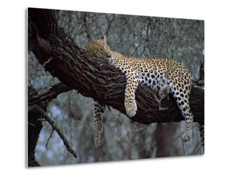 Close-Up of a Single Leopard, Asleep in a Tree, Kruger National Park, South Africa-Paul Allen-Metal Print