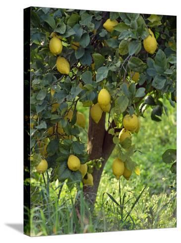 Close-Up of Lemon Tree, Denia, Spain, Europe-Jan Baldwin-Stretched Canvas Print