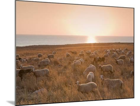 Flock of Sheep at Sunset by the Sea, Near Erice, Western Sicily, Italy, Europe-Mark Banks-Mounted Photographic Print