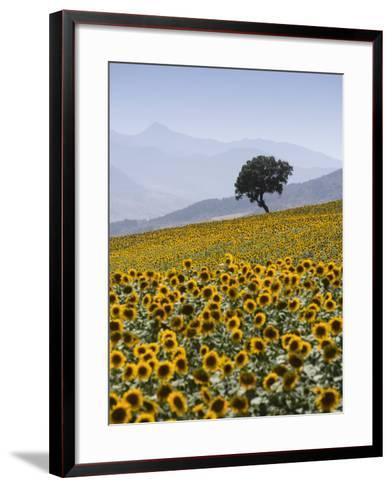 Sunflowers, Near Ronda, Andalucia, Spain, Europe-Mark Banks-Framed Art Print