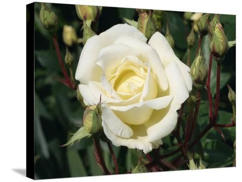 Close-Up White Rose, Pax, Taken in June-Michael Black-Stretched Canvas Print