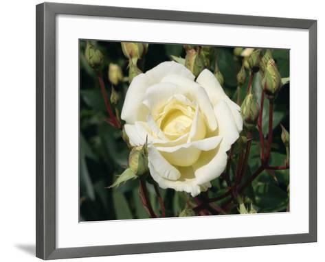 Close-Up White Rose, Pax, Taken in June-Michael Black-Framed Art Print