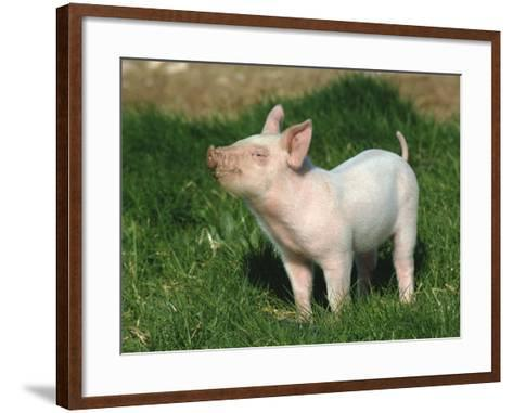 Pretty Little Piglet Posing for Camera-Michael Black-Framed Art Print