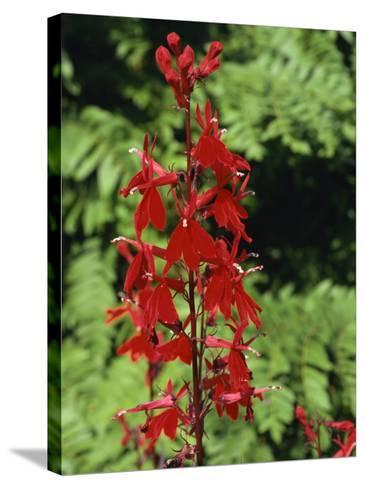 Red Flowers of Lobelia Cardinalis, Taken in August, in Devon, England-Michael Black-Stretched Canvas Print