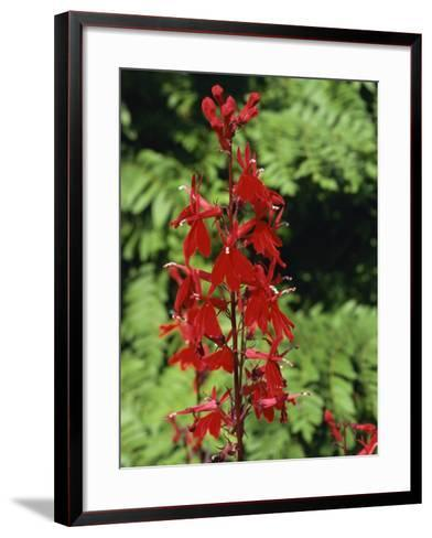 Red Flowers of Lobelia Cardinalis, Taken in August, in Devon, England-Michael Black-Framed Art Print