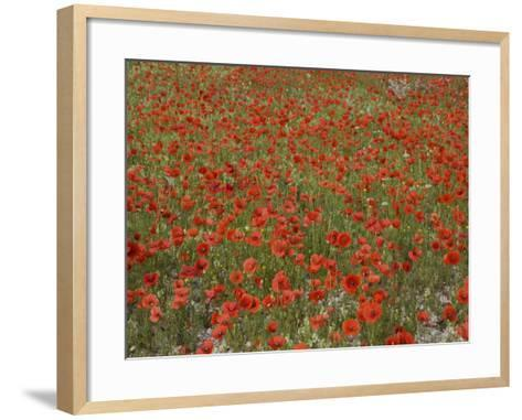 Poppies, Highland of Castelluccio Di Norcia, Norcia, Umbria, Italy, Europe-Angelo Cavalli-Framed Art Print