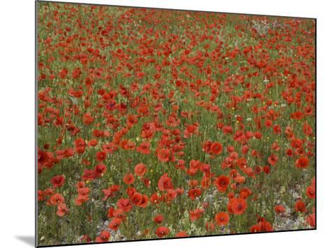 Poppies, Highland of Castelluccio Di Norcia, Norcia, Umbria, Italy, Europe-Angelo Cavalli-Mounted Photographic Print